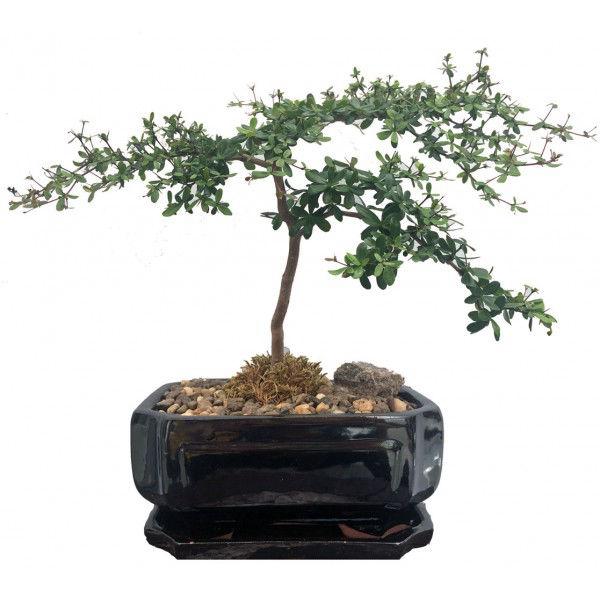 Bonsai Black Olive