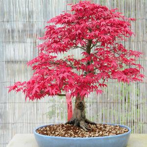 Bonsai Japonese Maple Leaf