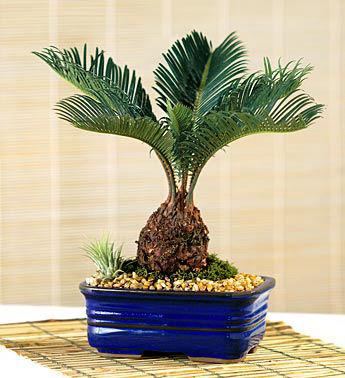 bonsai sago palm