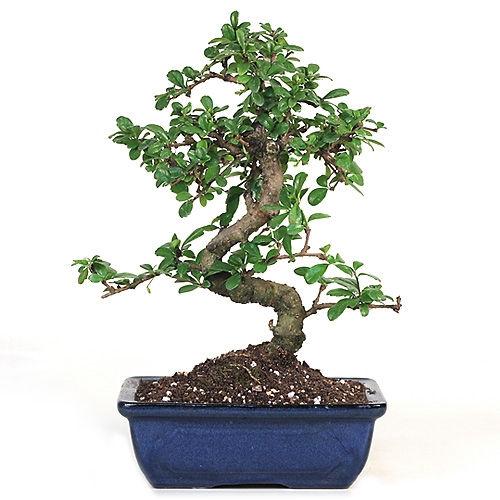 Bonsai Sweet Plum