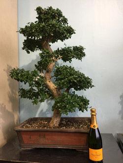 Bonsai de collection 65 ans