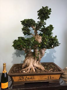 Bonsai de collection 85 ans